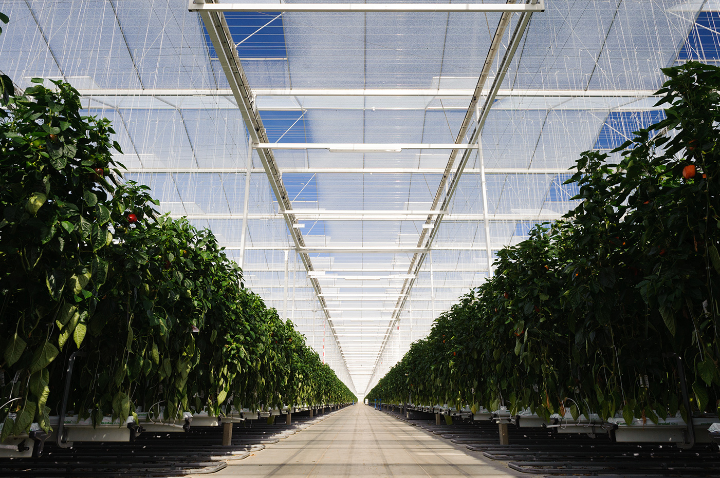 Interior of a Glass Greenhouse showing blue sky and rows of Tomato Plants