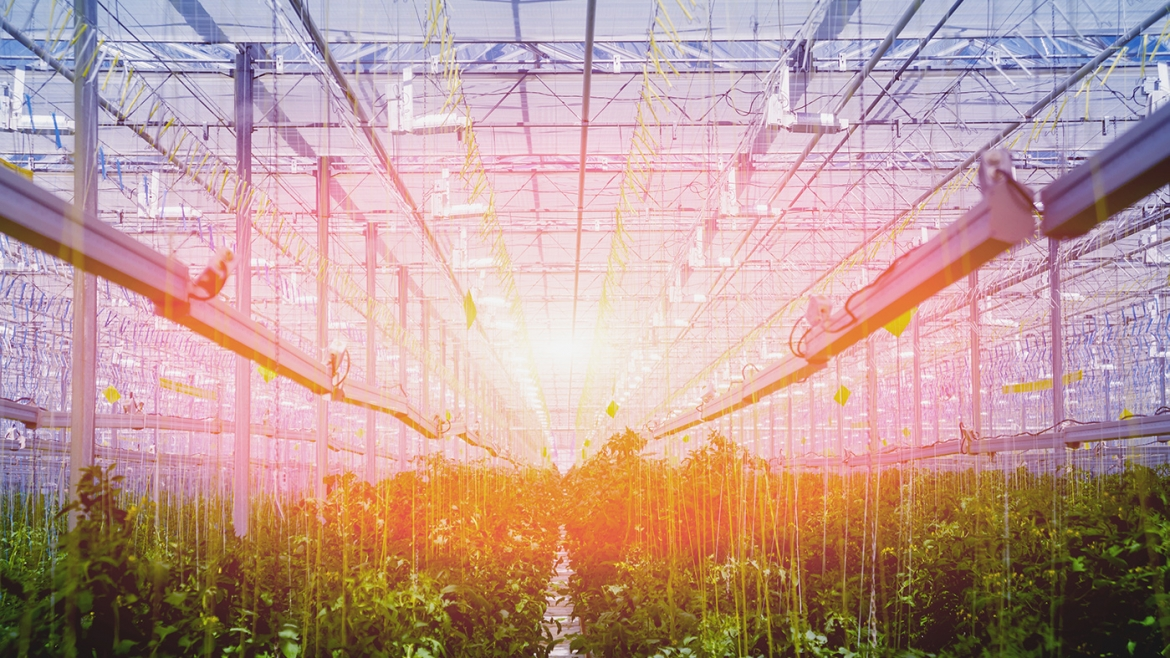 Tips on Managing Cannabis Greenhouse Humidity
