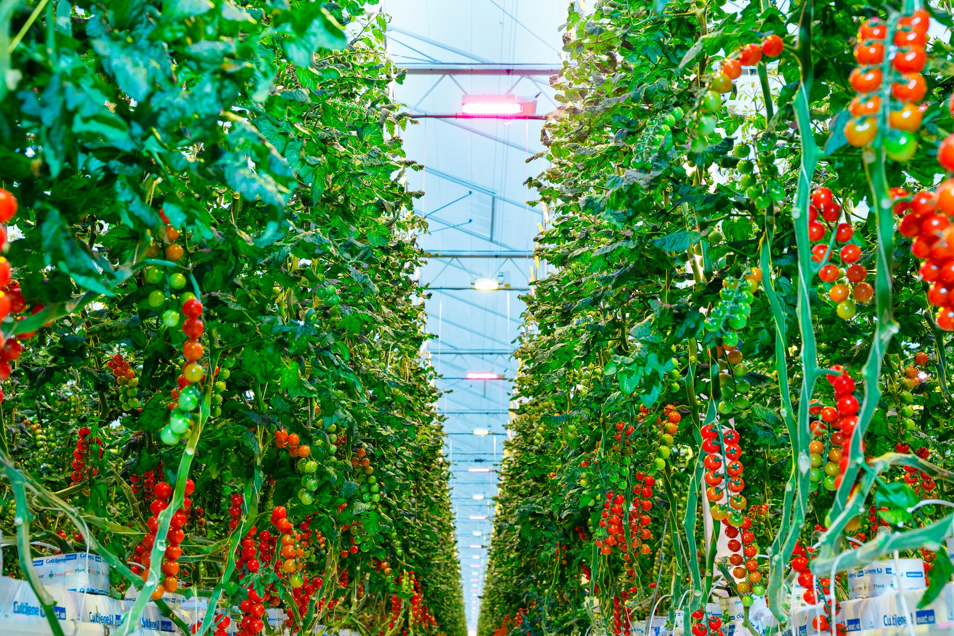 Tomatoes growing indoor in a glass greenhouse