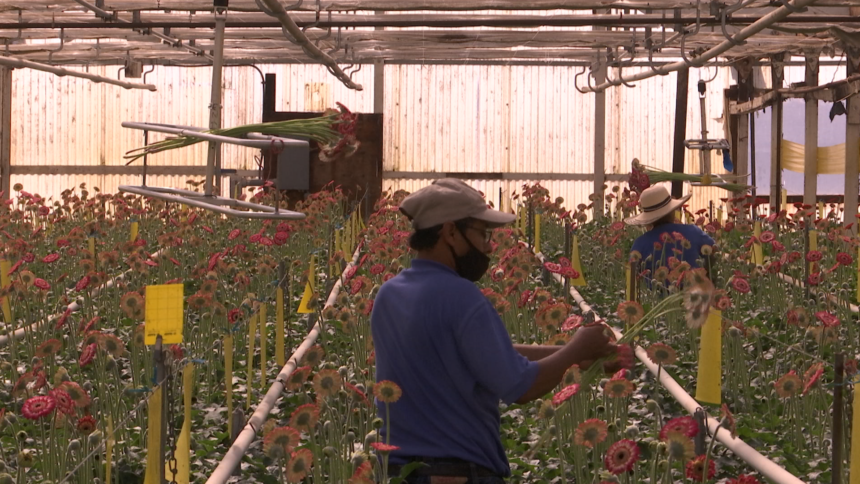 Flower Sales Bloom Ahead of Mother's Day in Carpinteria Valley