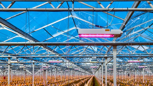 LED Ensures Controllability in Hybrid Tomato Cultivation
