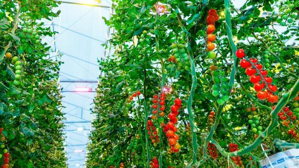 Sunterra Farms Selects Dutch LED for Fresh Fruit Expansion