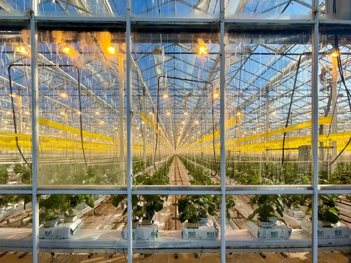 Light Shed on Closure of Longtime Tomato Growing Operation