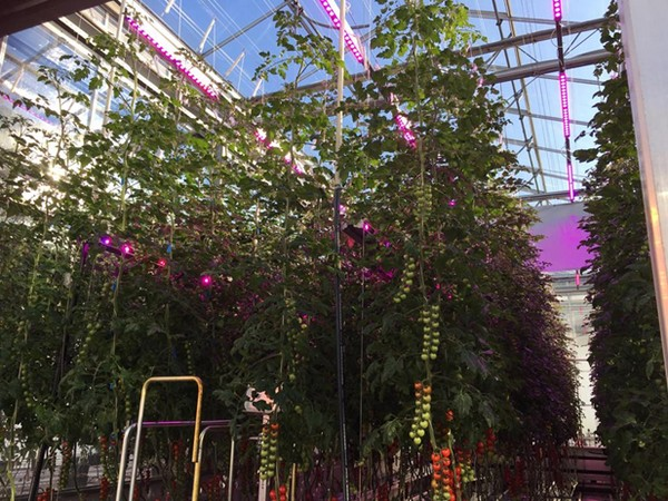 It's All About Flavor: Growing with LED Lighting